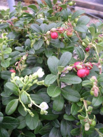 Брусника в саду выращивание 91