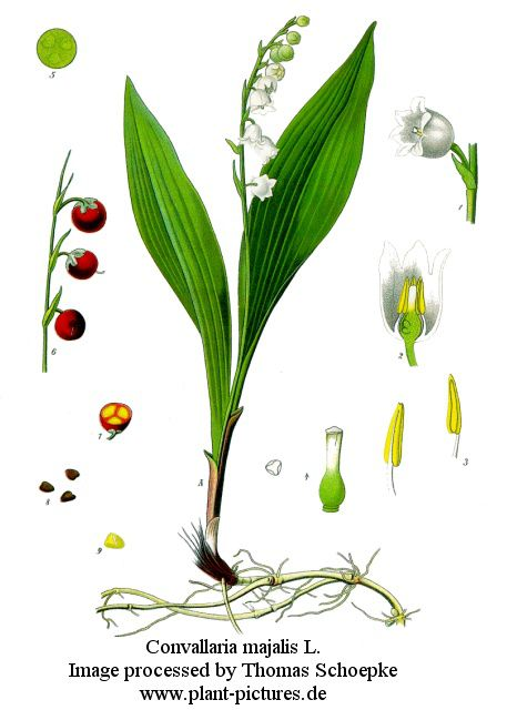 Ландыш майский convallaria majalis l