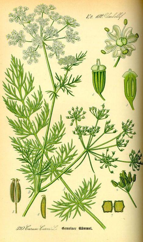 Тмин обыкновенный carum carvi l