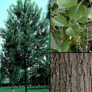 Тополь черный или осокорь populus nigra l