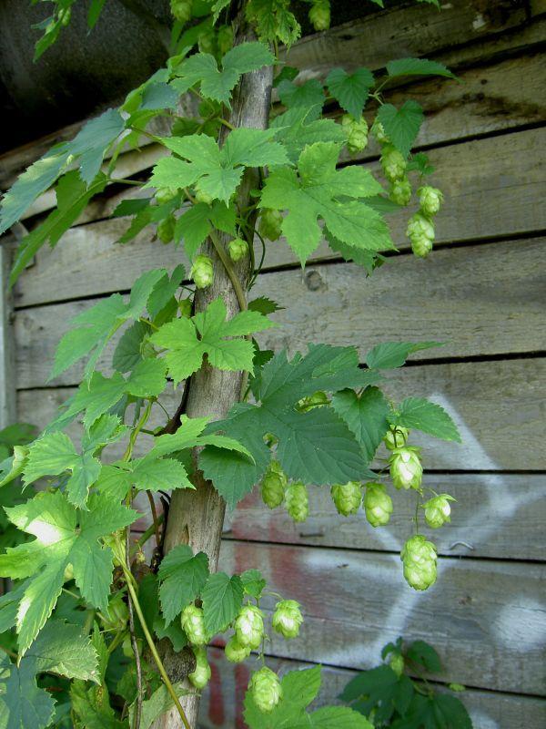 лекарственные травы Хмель обыкновенный (Humulus lupulus L.), фото, характеристики, описание, семена - лечение болезней и лечебны